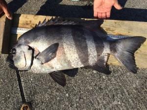 石鯛  68cm   5.5kg