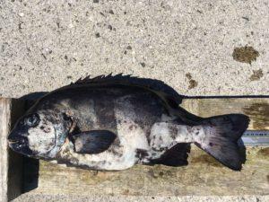 平川さん   石鯛52cm