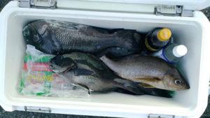 城本さんの釣果の一部。39cmを頭にクロ、オナガを2ケタ、イサキを1匹。
